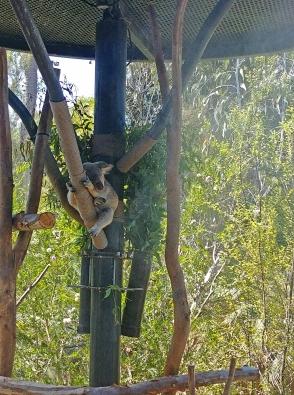 Koalas always sleep. Nothing new.