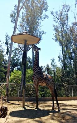 I always love giraffes.