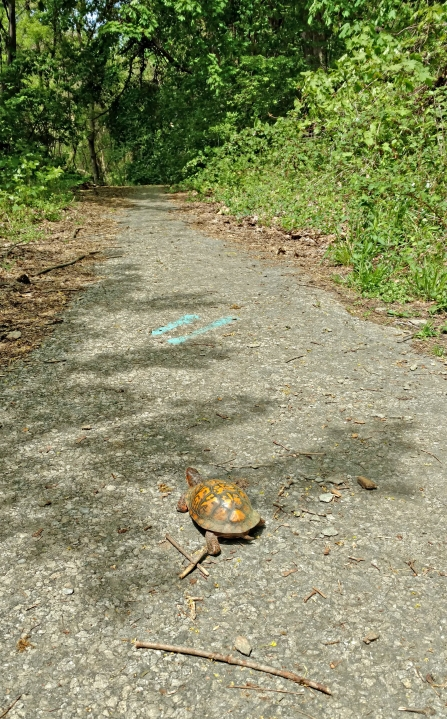 A turtle we met on the trail.